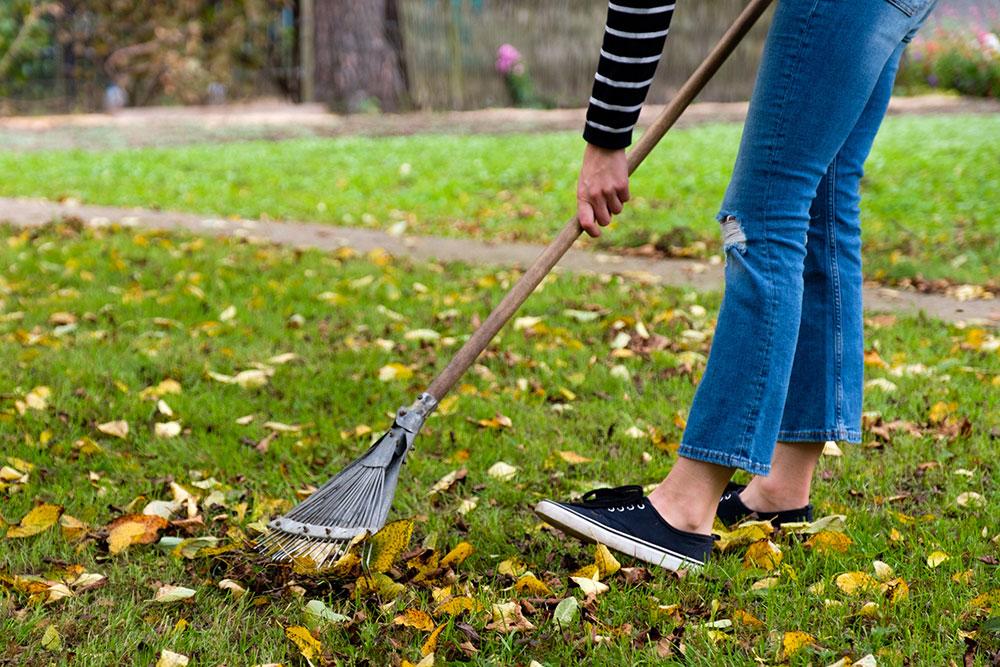 Raking leaves before applying corn gluten meal to lawn