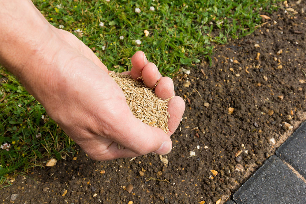 Hand applying seed to lawn