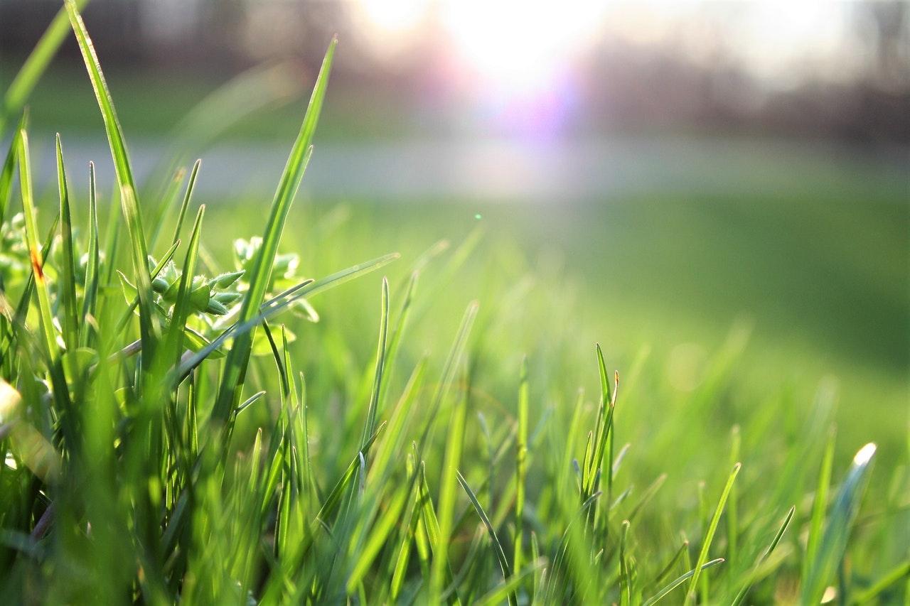 Tall grass of organic lawn.